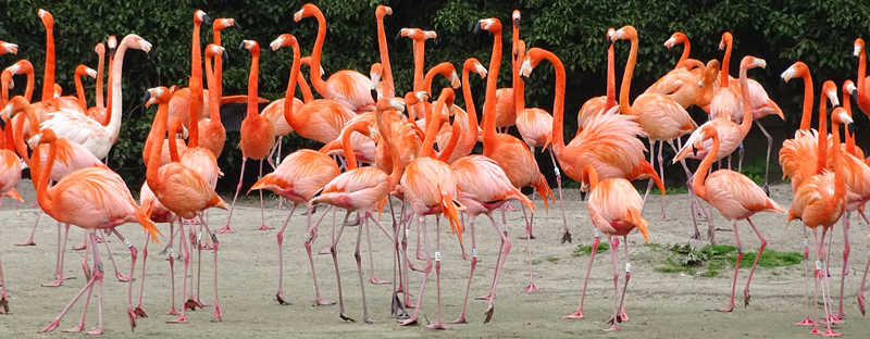 A flamboyance of Flamingos at Slimbridge Wetland Centre